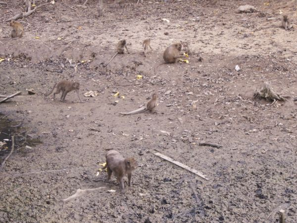 Monkeys collecting bananas