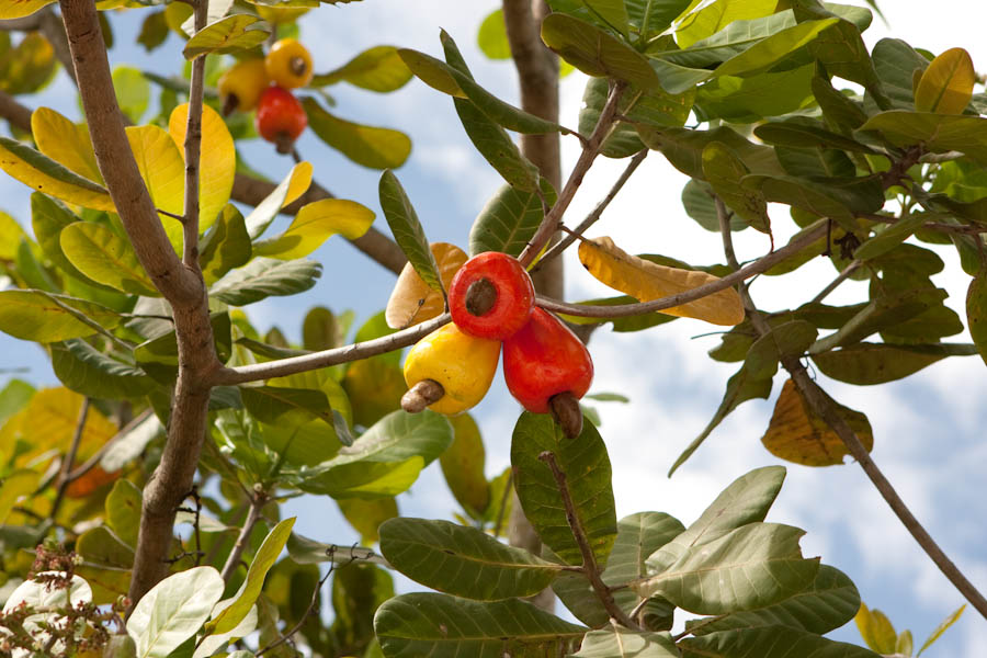 Fake cashew apples hanging on a real tree