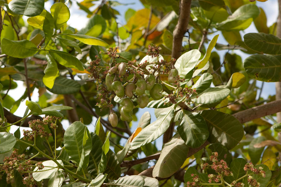 Developing cashew nuts