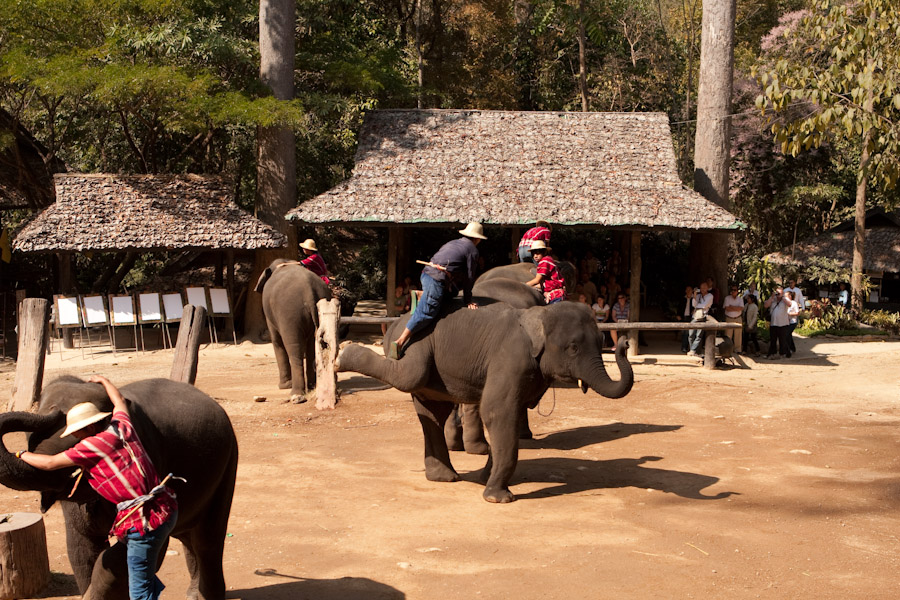 Elephant helping the mahout (trainer) up