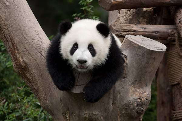 Adorable yearling panda, Chengdu
