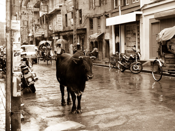 Classic Nepal- A cow standing in the street in Kathmandu