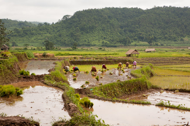 Passing by Rice Fields on our Hike to Hilltribe Villages