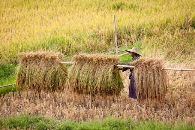 View of the Fields from an Intha village on Inle Lake