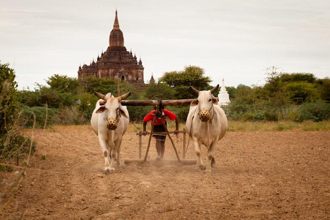 Farmer Plowing His Field in Bagan
